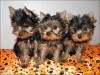 Breath Taking teacup Yorkie puppies available...Text (817) 668-0762